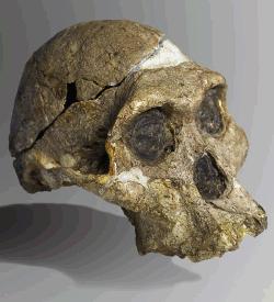 Skull of Australopithecus